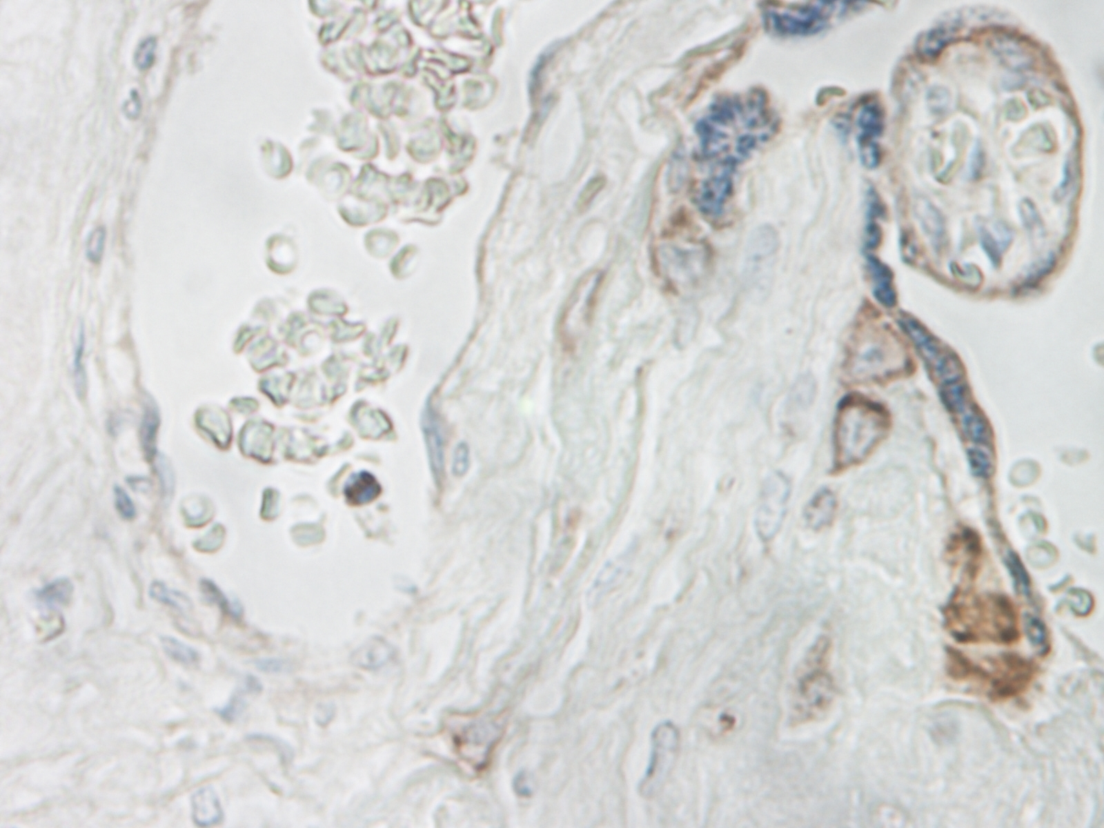 IL-15 Antibody gallery image 3