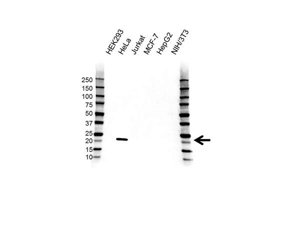 IL-18 Antibody (PrecisionAb<sup>TM</sup> Antibody) gallery image 1