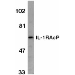 IL-1R Accessory Protein Antibody gallery image 1