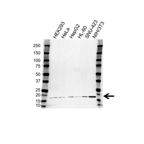 IL-21 Antibody (PrecisionAb<sup>TM</sup> Antibody) gallery image 1