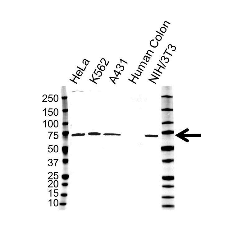 IL-23 Receptor Antibody (PrecisionAb<sup>TM</sup> Antibody) | OTI5H9 gallery image 1