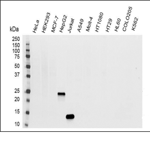 IL-32 Antibody   B08-3A9 gallery image 1