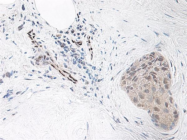 IL-33 Antibody gallery image 2