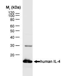 IL-4 Antibody   MP4-25D2 gallery image 1