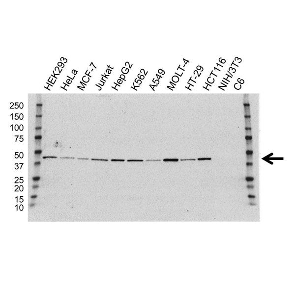ILF2 Antibody (PrecisionAb<sup>TM</sup> Antibody) | OTI6F1 gallery image 1