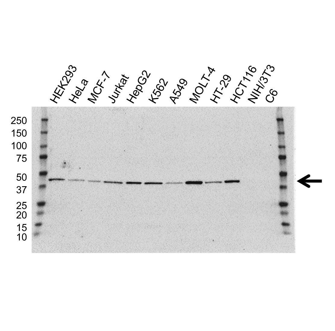ILF2 Antibody (PrecisionAb<sup>TM</sup> Antibody)   OTI6F1 gallery image 1