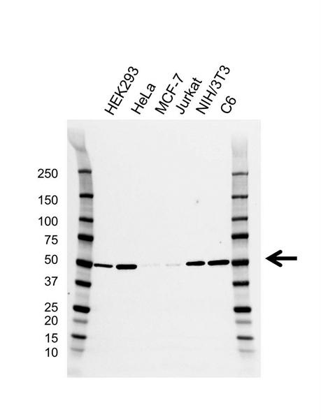 ILK1 Antibody (PrecisionAb<sup>TM</sup> Antibody) | CD01/2F7 gallery image 1