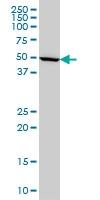IMPDH1 Antibody | 3G6 gallery image 1
