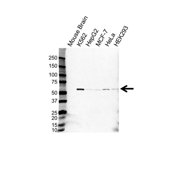 IMPDH2 Antibody (PrecisionAb<sup>TM</sup> Antibody) gallery image 1