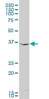 Indoleamine 2,3-Dioxygenase Antibody   4F9 gallery image 1