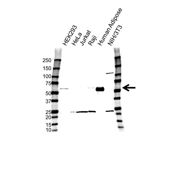 Inhibin Beta B Antibody (PrecisionAb<sup>TM</sup> Antibody) gallery image 1