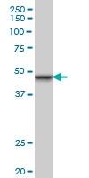 INI-1 Antibody | 3E10 gallery image 1