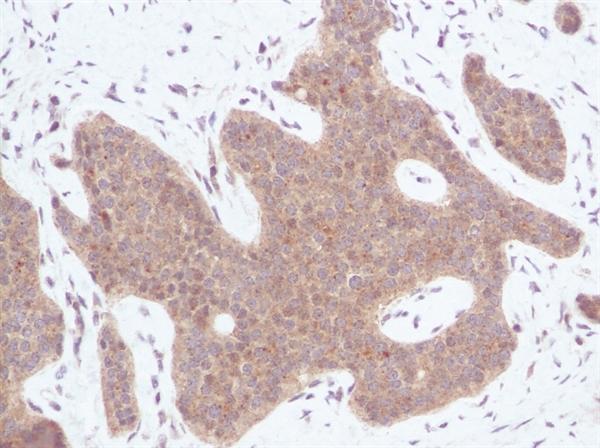 IP-10 Antibody gallery image 1