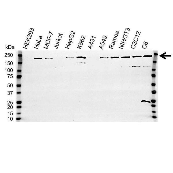 IQGAP1 Antibody (PrecisionAb<sup>TM</sup> Antibody) gallery image 1