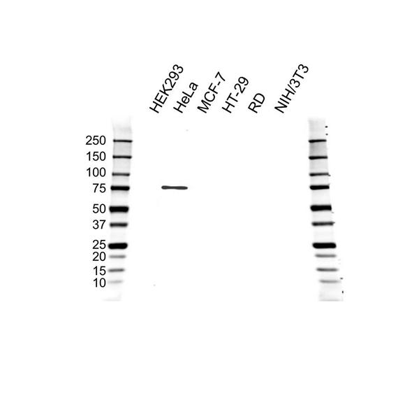 IRAK1 Antibody (PrecisionAb<sup>TM</sup> Antibody) gallery image 1