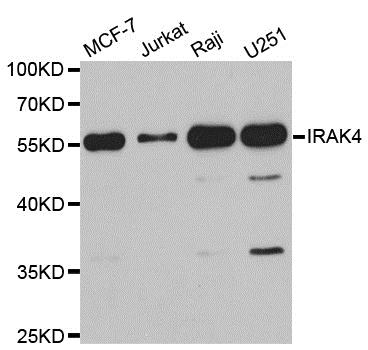 IRAK4 Antibody gallery image 1
