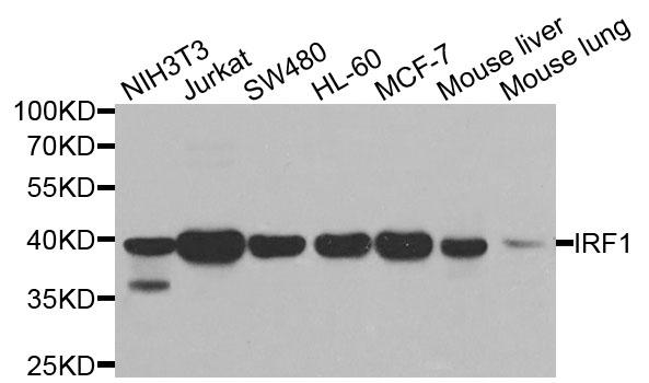 IRF1 Antibody gallery image 1