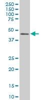 IRF2 Antibody | 3D6 gallery image 2