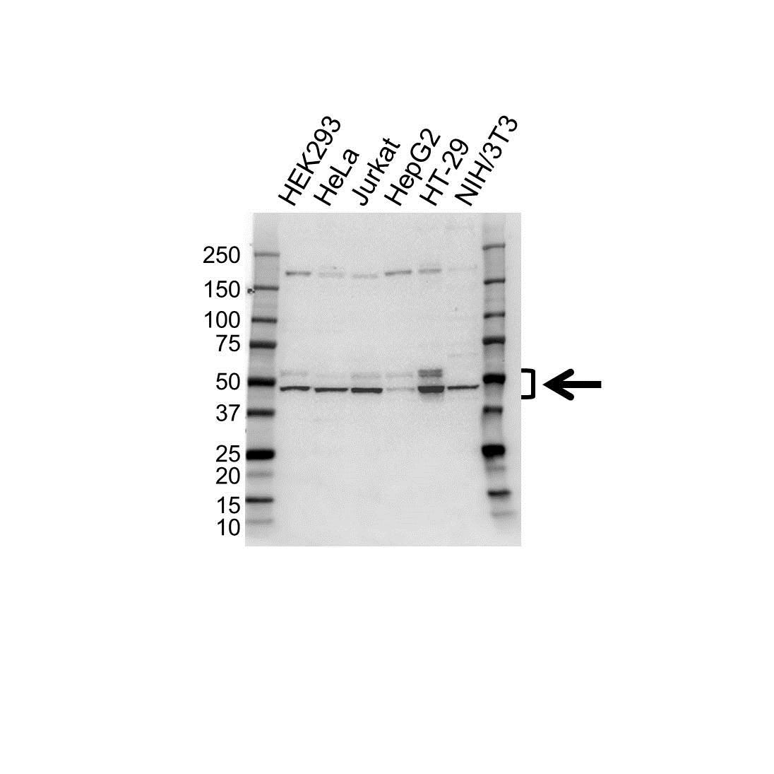 IRF3 Antibody (PrecisionAb<sup>TM</sup> Antibody) gallery image 1