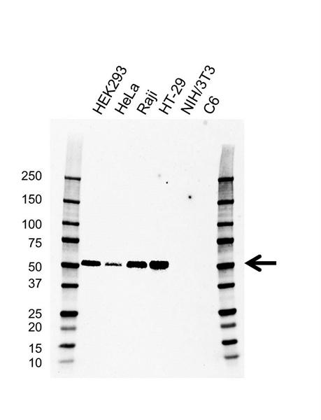 IRF3 Antibody (PrecisionAb<sup>TM</sup> Antibody) | AB01/1D2 gallery image 1
