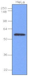 IRF3 Antibody | 3F10 gallery image 1