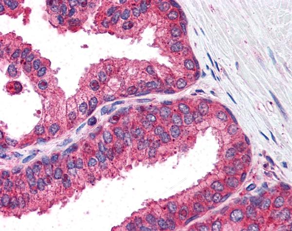 IRF3 Antibody gallery image 1