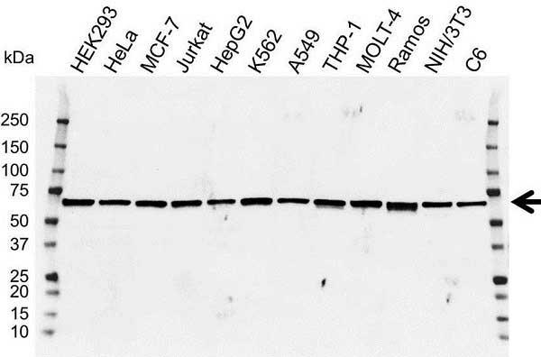 IRF5 Antibody (PrecisionAb<sup>TM</sup> Antibody) gallery image 1
