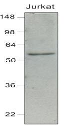 IRF7 Antibody | 3D9 gallery image 1