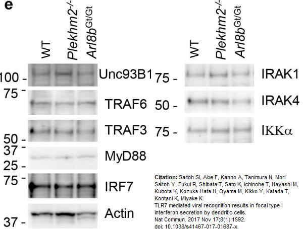 IRF7 Antibody gallery image 4