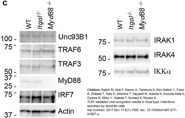 IRF7 Antibody gallery image 3