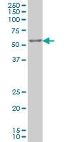 IRX3 Antibody | 3D8 gallery image 1
