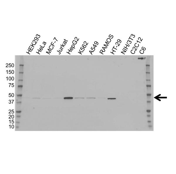 Isocitrate Dehydrogenase 1 Antibody (PrecisionAb<sup>TM</sup> Antibody) | OTI2H9 gallery image 1