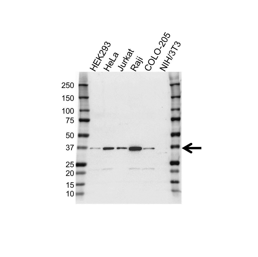 IST1 Antibody (PrecisionAb<sup>TM</sup> Antibody) gallery image 1
