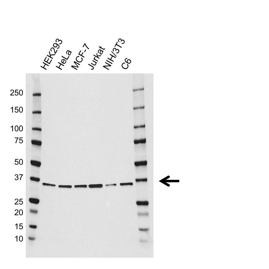 JAB1 Antibody (PrecisionAb<sup>TM</sup> Antibody) gallery image 1