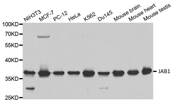 JAB1 Antibody gallery image 1
