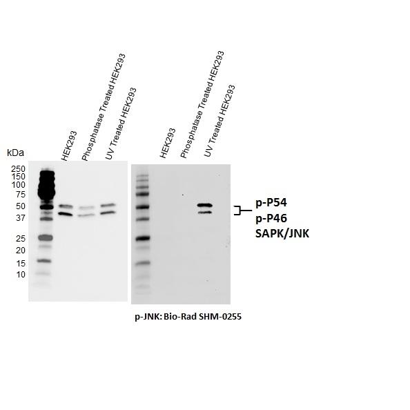 Jnk (pThr183/pTyr185) Antibody | D04-7G6 gallery image 1