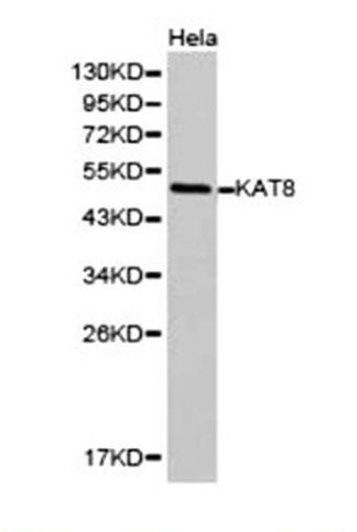 KAT8 Antibody gallery image 1
