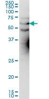 KCNA3 Antibody | 1D8 gallery image 1