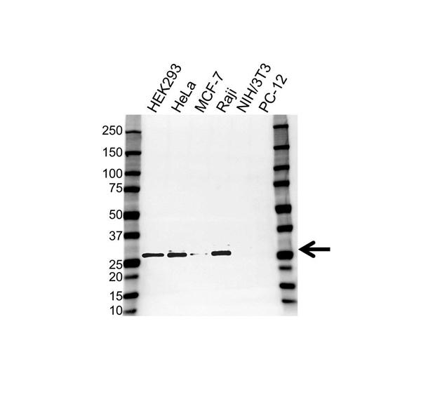 KDELR1 Antibody (PrecisionAb<sup>TM</sup> Antibody) gallery image 1