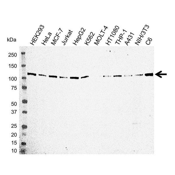 Kinesin Heavy Chain Antibody (PrecisionAb<sup>TM</sup> Antibody) gallery image 1