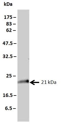 KRAS Antibody   3B10-2F2 gallery image 2