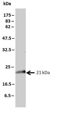 KRAS Antibody | 3B10-2F2 gallery image 2
