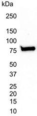 Ku70 Antibody | 4C2-1A6 gallery image 4