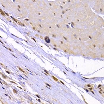 Ku70 Antibody gallery image 9
