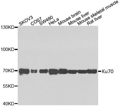 Ku70 Antibody gallery image 2