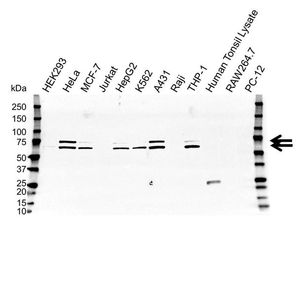 Lamin A/C Antibody (PrecisionAb<sup>TM</sup> Antibody) | OTI3F6 gallery image 1