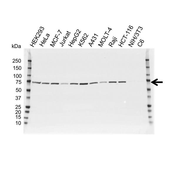 Lamin B1 Antibody (PrecisionAb<sup>TM</sup> Antibody) gallery image 1