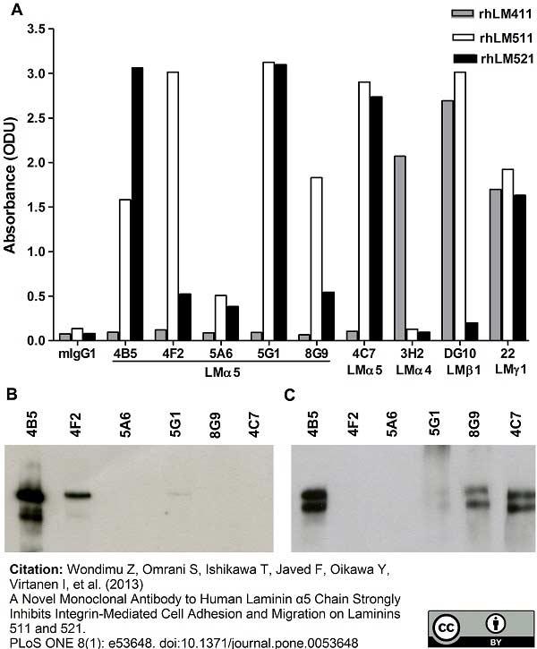 Laminin Antibody | 4C7 (2D8/33) gallery image 2