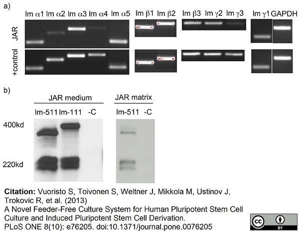 Laminin Antibody | 4C7 (2D8/33) gallery image 1
