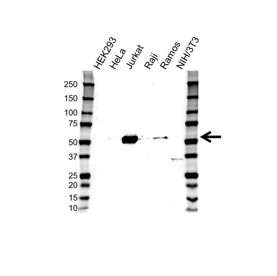 Lck Antibody (PrecisionAb<sup>TM</sup> Antibody) gallery image 1